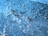 Antek Mrówka